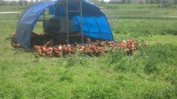 Chicken Field