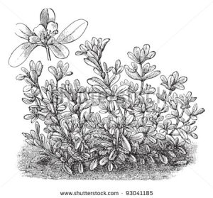 stock-vector-common-purslane-portulaca-oleracea-vegetable-vintage-illustration-from-meyers-konversations-93041185