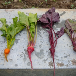 Rainbow of beets