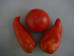 Jersey Devil tomatoes