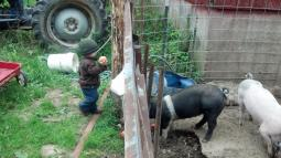 Feeding the pigs